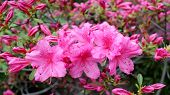 foto of royal botanic gardens  - a branch azalea flower in garden in spring time - JPG