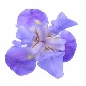picture of purple iris  - Purple Dwarf iris flower isolated on white background - JPG