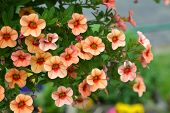 stock photo of petunia  - orange petunia flowers in the garden for background uses - JPG