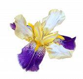 pic of purple iris  - Purple Dwarf iris flower isolated on white background - JPG
