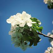 foto of apple tree  - Flowers Of apple tree on a nature background - JPG