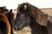 stock photo of pony  - Portrait of a black Icelandic pony with brown mane in a herd - JPG