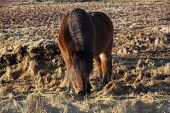 pic of pony  - Brown icelandic pony on a meadow in Iceland - JPG