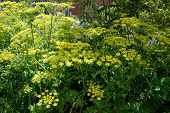 pic of chain link fence  - Wild parsnip  - JPG