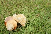 stock photo of conch  - conch shell on a background of green grass - JPG