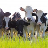 stock photo of pastures  - Holstein dairy cows stand in a pasture - JPG