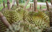 stock photo of south east asia  - Thai Durian - JPG