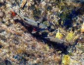 stock photo of brook trout  - trout in a brook high in rocky mountain national park colorado
