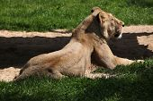 picture of leo  - Female Asiatic lion  - JPG
