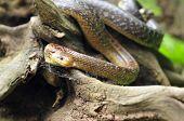 stock photo of tree snake  - Photo of aesculapian snake on a tree stump - JPG