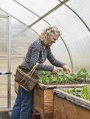 pic of gathering  - Senior woman gathering salad greens in a basket in her greenhouse garden - JPG