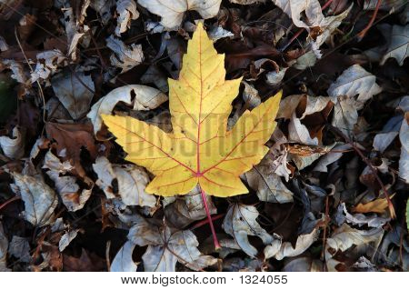 Picture or Photo of A newly fallen maple leaf lays on the forest floor