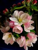 picture of apple blossom  - apple blossom wit flowers and buds - JPG