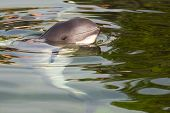 picture of porpoise  - Relaxed Harbour porpoise or Phocoena phocoena in summer sunshine and clear water  - JPG