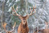 Winter Wildlife Landscape With Noble Deers Cervus Elaphus. Deer With Large Horns With Snow On The Fo poster