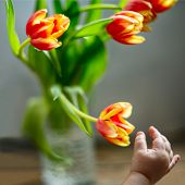 Childs Hand Reaches Out To A Bouquet Of Tulips. poster