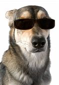 picture of cute dog  - Serious big dog wears sunglasses isolated white - JPG