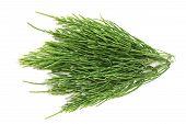 stock photo of horsetail  - fresh natural green horsetail on a light background - JPG