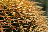 stock photo of mother law  - cactus showing thorns, popularly known as the golden ball cactus or mother-in-law