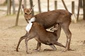 pic of indecent  - two deers in indecent sexual position in Nara park - JPG