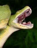 image of green tree python  - Python with open mouth - JPG