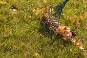 Pile Of Fall Leaves With Fan Rake On Lawn poster
