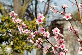 Peach Tree Blossoms Fruit. Flowers, Buds And Branches Of Peach Tree, In Springtime. Spring And Summe poster