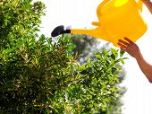 Watering Flowers In The Garden With A Yellow Watering Can. Close Up On Water Pouring From Watering,  poster