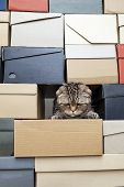 Сute, Frowned Cat Scottish Fold Climbed Into A Pile Of Folded Shoe Boxes And Stared Down. Сopy Space poster