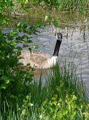 foto of upstream  - Curious Canada Goose swimming upstream around a bend in the river - JPG
