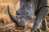 Close Up Of A White Rhino Head. poster
