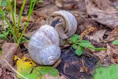 Two Mating Snails Pressed Against Each Other With Their Soles Hiding In The Green Grass. Shellfish I poster