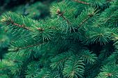 Green Fir Tree Branch. Evergreen, Fir Coniferous Background. Spruce Branch. Frame Of Pine Needles. P poster
