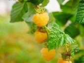 Yellow Raspberries On A Bush. Yellow Raspberries On A Bush. Close-up Of Yellow Raspberries On A Bush poster