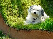 stock photo of augen  - Lying Havanese is completely relaxed in a green bed of grass - JPG