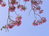 pic of lapacho  - Pink Trumpet Or Tatebuia Blossom With Blue Sky - JPG