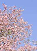 picture of lapacho  - Pink Trumpet Or Tatebuia Blossom With Blue Sky - JPG
