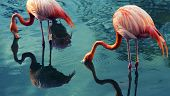 stock photo of pink flamingos  - Two flamingoes drinking in a pond - JPG