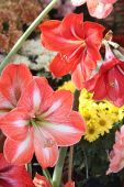 picture of belladonna  - Amaryllis is a beautiful flowering plant and it is a single species called Amaryllis belladonna - JPG