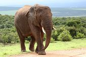 foto of veld  - Large male African elephant walking in the bush veld - JPG