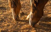 foto of clydesdale  - Two clydesdales feed on dry old grass in a drought hit land - JPG