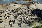 Breeding colony of African penguins (Spheniscus demersus), Western Cape, South Africa
