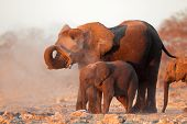 African elephants (Loxodonta africana) covered in dust, Etosha National Park, Namibia