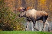 foto of antlers  - Moose Bull with big antlers - JPG