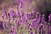 foto of lavender field  - Lavender flowers in the field in sunny day - JPG