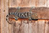 image of tokay gecko  - big tokay thai  gecko on wood windows - JPG