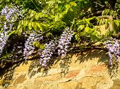 Wisteria Bloom With Shadow On A Wall