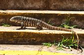 stock photo of monitor lizard  - Monitor lizard on stairs looking for camera - JPG