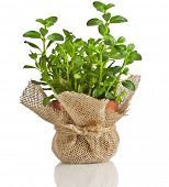 Mint herb growing in a pot isolated on a white background