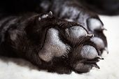 stock photo of paws  - Dog labrador paw with pads on a light carpet - JPG